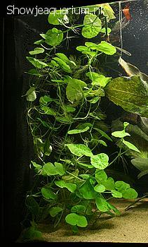 "Hydrocotyle leucocephala ""Grote waternavel / Reuzenklimop"""