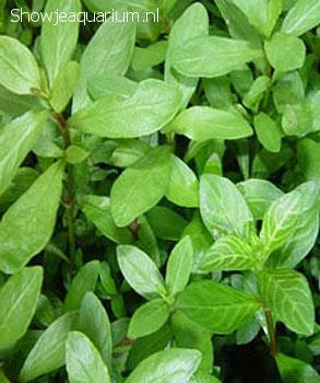 """Hygrophila polysperma """"Belgisch groen"""""""