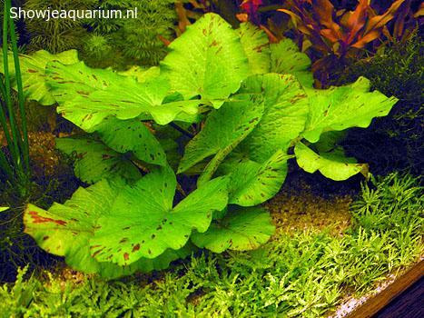 "Nymphaea Lotus green ""Groene tijgerlotus"""