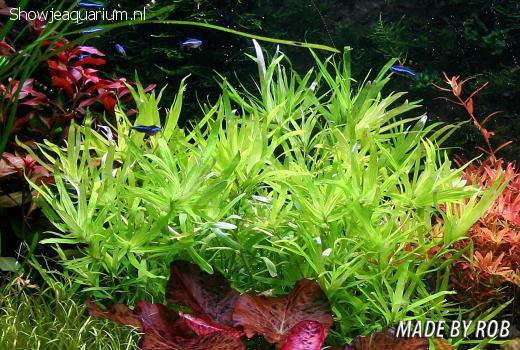 "Heteranthera zosterifolia ""Sterrenkruid"""