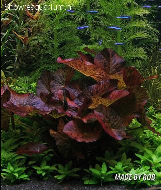 """Nymphaea Lotus Red """"Rode tijgerlotus"""""""