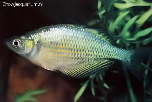 Glossolepis multisquamatus