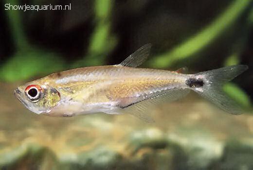 Gnathocharax steindachneri