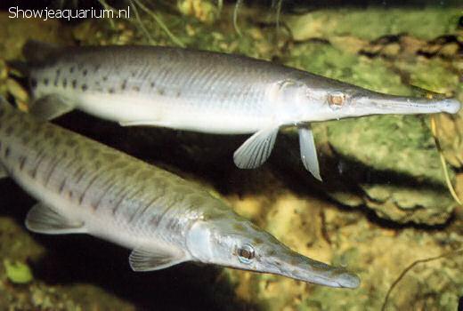 Lepisosteus oculatus
