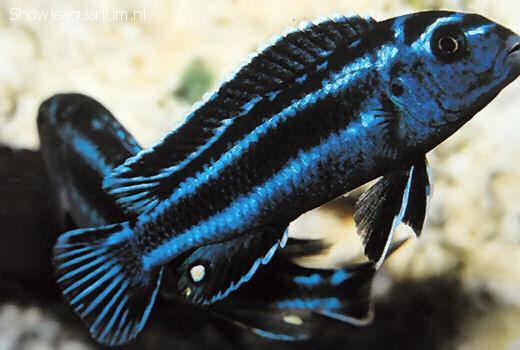 Melanochromis cyaneorhabdos
