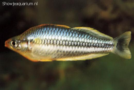 Melanotaenia pygmaea