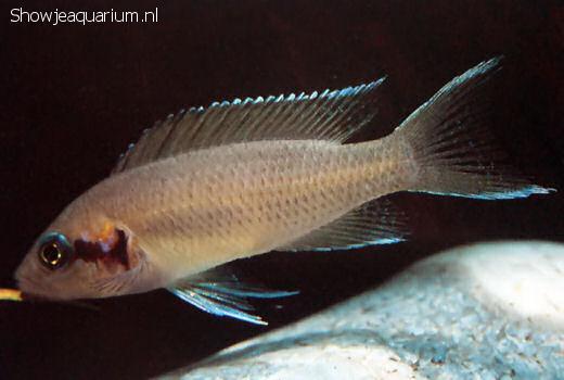 Neolamprologus brichardi (Prinses van Burundi)