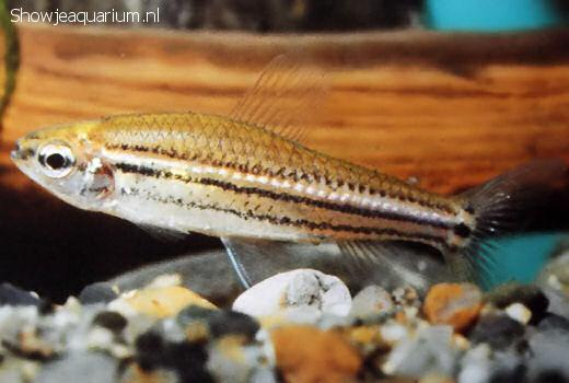 Neolebias trilineatus
