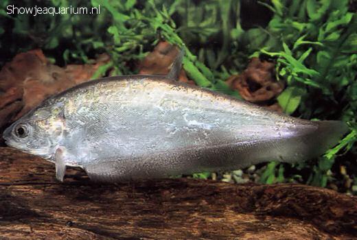 Notopterus notopterus