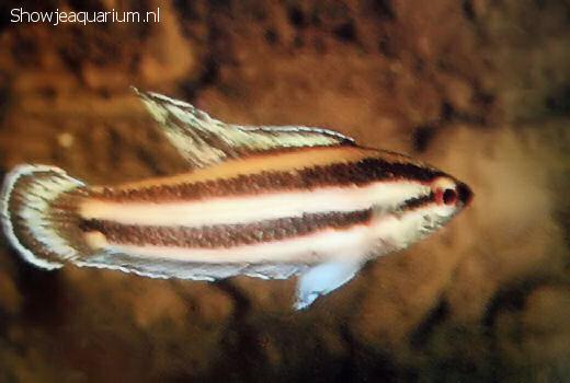 Parosphromenus harveyi
