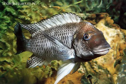 Petrochromis polyodon