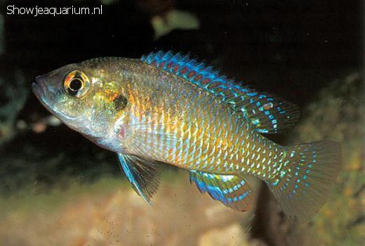 Pseudocrenilabrus multicolor