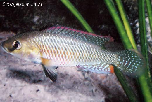 Pseudocrenilabrus philander dispersus