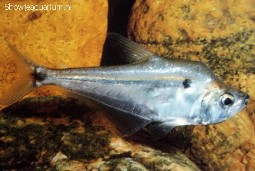 Roeboides descalvadensis