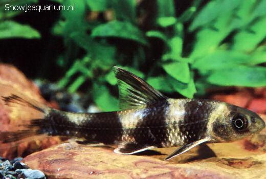 Sarcocheilichthys sinensis