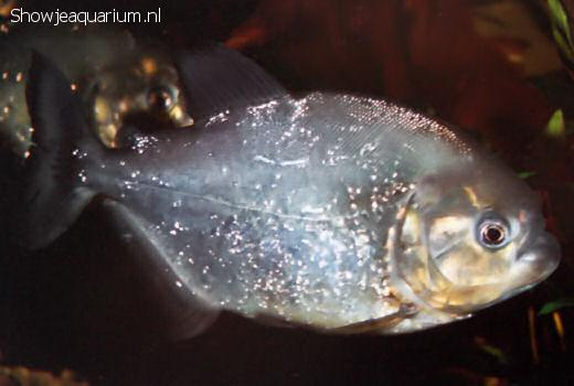 Serrasalmus spilopleura