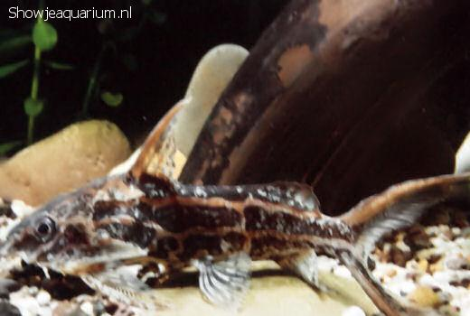 Synodontis flavitaeniatus