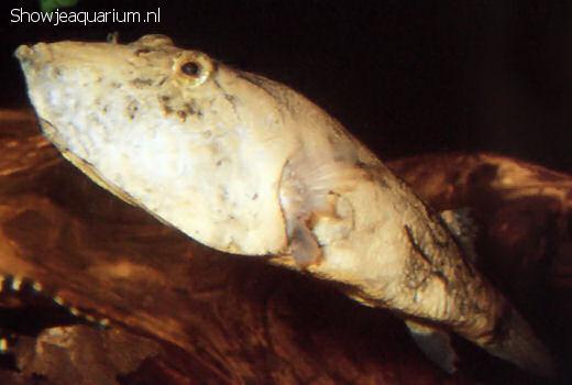 Tetraodon miurus