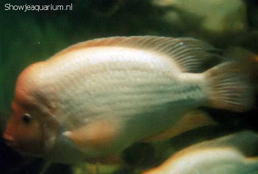 Cichlasoma Citrinellum