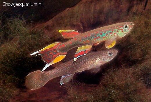 Aphyosemion australe