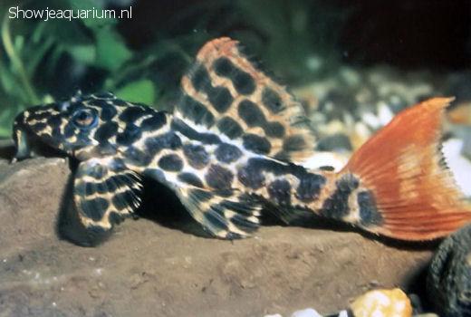 Pseudancistrus leopardus