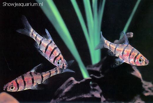 Eirmotus octozona