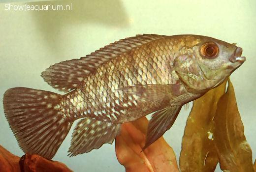Oreochromis leucostictus