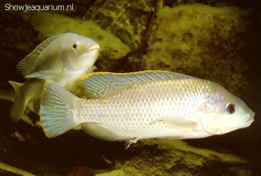 Oreochromis variabilis