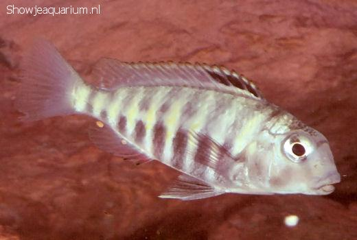 Simochromis babaulti