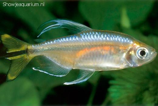 Hemigrammopetersius caudalis