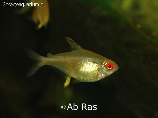 Hyphessobrycon pulchripinnis (Citroentetra)
