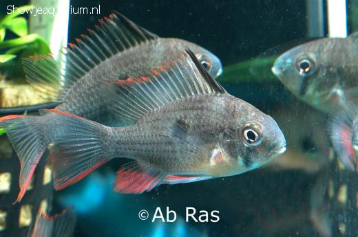 Microgeophagus altispinosa