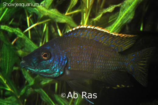 Placidochromis milomo Man