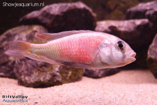 "Ptyochromis sp. ""Hippo Point salmon"""