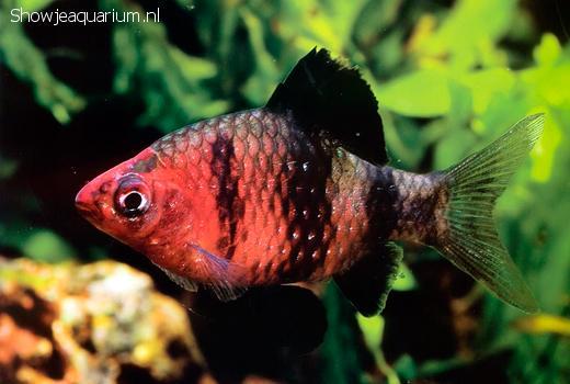 Barbus nigrofasciatus