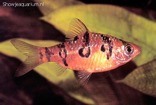 Barbus rhombocellatus
