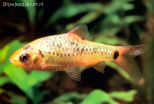 Barbus semifasciolatus
