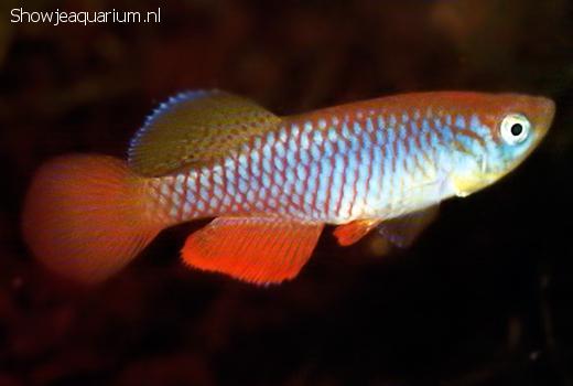Nothobranchius janpapi