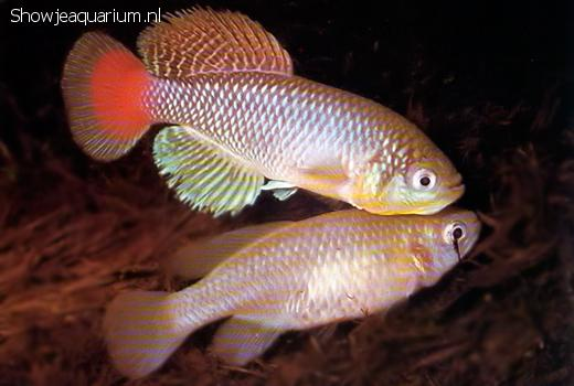 Nothobranchius jubbi