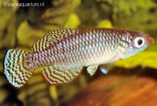 Nothobranchius lourensi