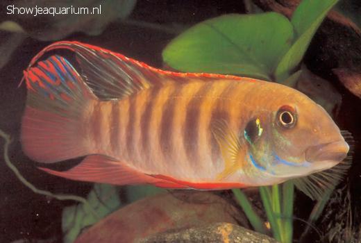 Pelvicachromis humilis liberia