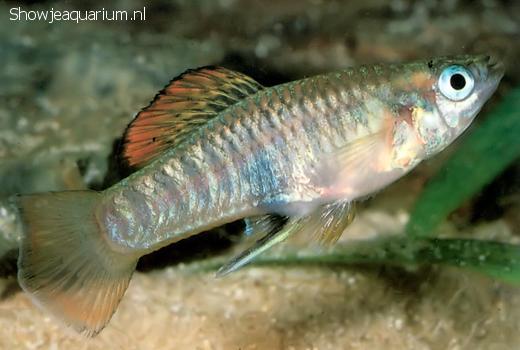 Brachyrhaphis roseni