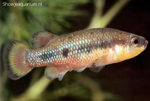 Characodon lateralis