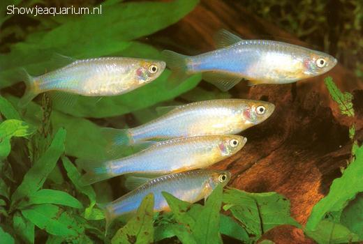 Brachydanio albolineatus
