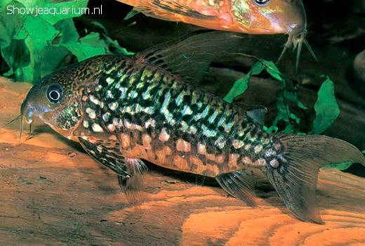 Corydoras bolivianus