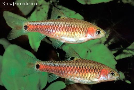 Barbus bimaculatus