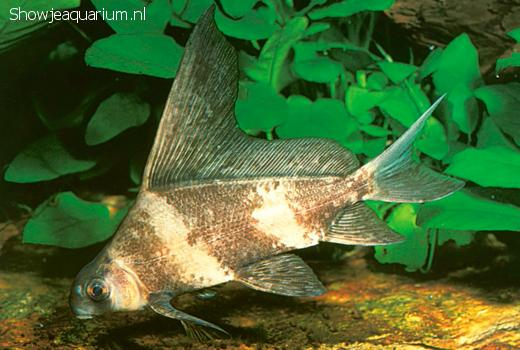 Myxocyprinus asiatica