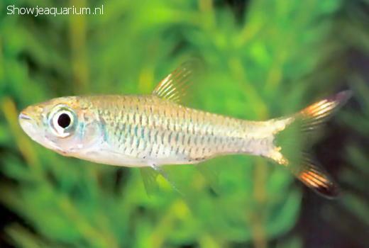 Rasbora caudimaculata (Grote knipstaart)