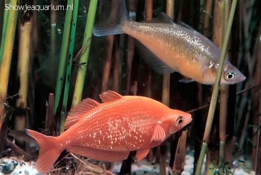 Glossolepis incisus (Rode regenboogvis)