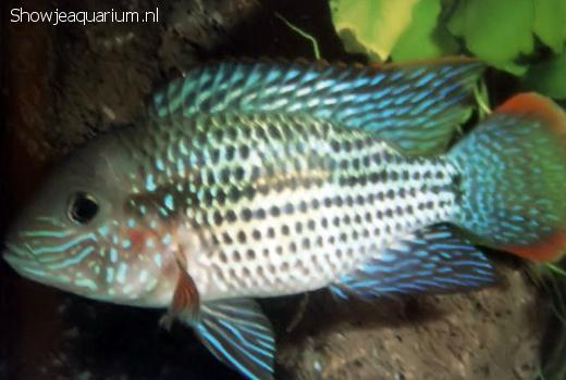 Aequidens rivulatus